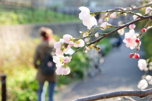 Nakameguro Tokyo sakura-11
