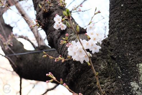 Nakameguro Tokyo sakura