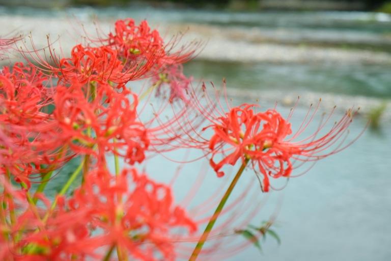 spider-lily-saitama-japan-flowers-sightseeing-3