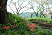 spider-lily-saitama-japan-flowers-sightseeing-4