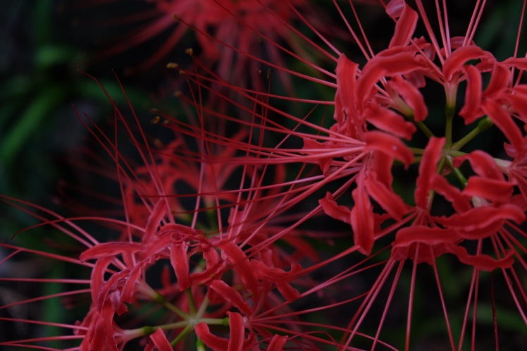 spider-lily-saitama-japan-flowers-sightseeing-5