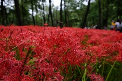 spider-lily-saitama-japan-flowers-sightseeing-6