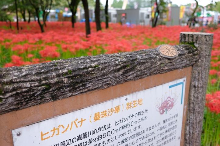 spiderlily-saitama-japan-flowers-sightseeing-12