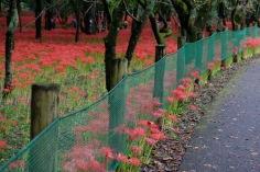 spiderlily-saitama-japan-flowers-sightseeing-15