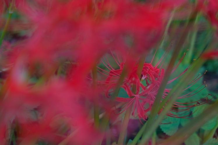 spiderlily-saitama-japan-flowers-sightseeing-16