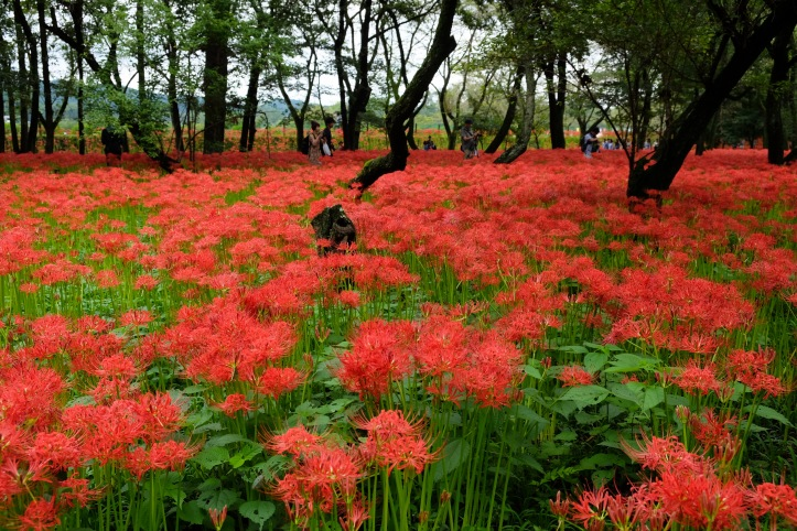 spiderlily-saitama-japan-flowers-sightseeing-8