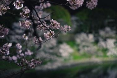 Night illumination Sakura Chidorigafuchi