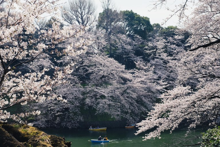 Chidorigafuchi Tokyo Sakura Kirschblüten Japan