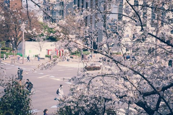 Sakura Cherry Blossoms Tokyo Japan Kirschblüten
