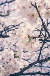 Sakura Cherry Blossoms Tokyo Japan Kimono